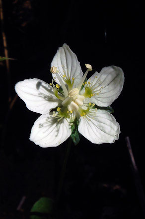 ウメバチソウ (梅鉢草) ニシキギ科 ウメバチソウ属