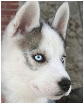 chiots husky gris yeux bleus