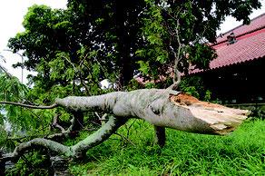 強風にあおられて折れた石垣市立図書館にあるホウオウボクの木