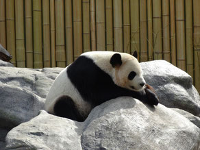Schläfriger Panda im Toronto Zoo