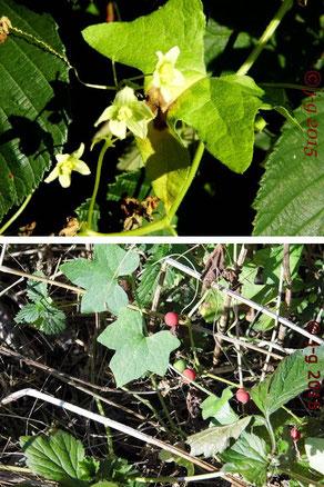 Bild oben: Blüte der Roten Zaunrübe;                    Bild unten: Früchte der Roten Zaunrübe