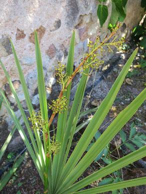 Sabal minor (Zwergpalmetto) ausgepflanzt im Burgund hat schon -14 °C unbeschadet überstanden (hier mit unausgereiftem Fruchtstand)