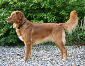 "Nova Scotia Duck Tolling Retriever ""Mariendals Red Nose Turbo Kiara"""