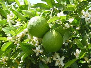 noch unreife Früchte und betörend duftende Blüten
