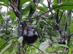 ミモレ農園で農薬を使わず育てた加茂なす
