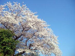 平田ペインクリニック 桜