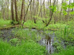 Erlenbruchwald an der Alster