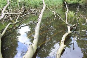 Sturzbäume in der Alster