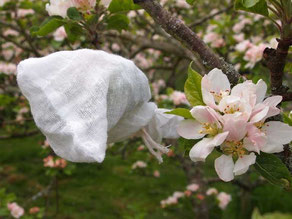 hand pollinated apple flower cluster enclosed in muslin bag.