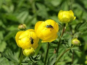 Trollblume - der größte Bestand im gesamten Grabfeld steht auf LBV-Flächen in der Bischofsau. (c) Petra Altrichter