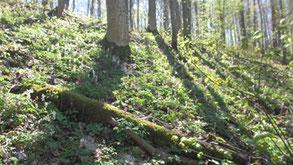 Die Frühjahrsblüher haben nur wenig Zeit, sich zu verbreiten bis die Bäume belaubt sind und es zu schattig wird