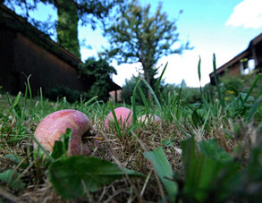 Aepfel im Gras, Wiese