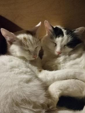 Eine weibliche weiße Katze und ein weißschwarzen Kater eng aneinander gekuschelt