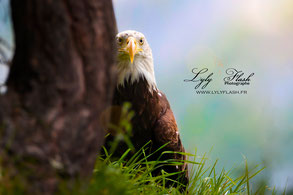 portrait animalier photo oiseau aigle photographe lyly flash