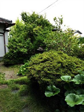 庭とのバランスがとれていない既存樹木