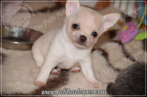 elevage chiot chihuahua
