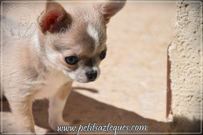chiot chihuahua poils courts
