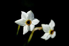 Sonnant de leur corolles odorantes les prémices du printemps, les narcisses sont des plantes indispensables au jardin