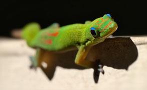 Gescko vert, lézard, réunion, espèces endémique