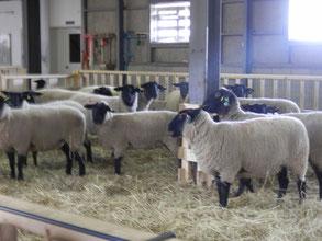 元気な羊たち