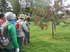 リンゴも真っ赤に熟していました。
