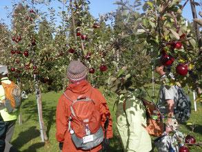 この林檎は実も赤い不思議なリンゴです