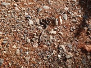 道端に小さな蛇発見。吉兆の前触れか?