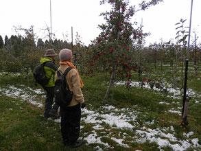 立派に実ったリンゴ。収穫はこれから。