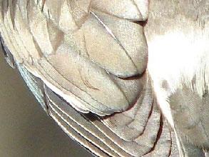 ・左の画像を拡大  ・銀色に輝いていた。 これだけを見せられたら銀椋鳥と思ってしまう。