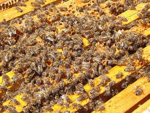 Des abeilles ouvrières sur des cadres dans une ruche