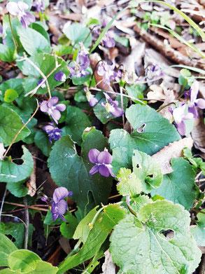 Sur le chemin de la randonnée, quelques violettes