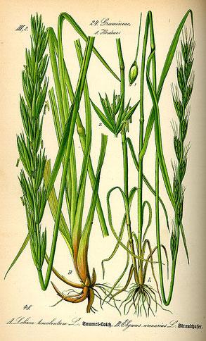 ドクムギの挿絵(オットー・ヴィルヘルム・トメ『ドイツ、オーストリア、スイスの植物誌』、1885年、ゲーラ)