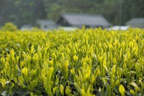 お茶畑のイメージ写真