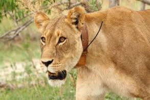 lion_tracking_in_queen_elizabeth_national_park.jpg