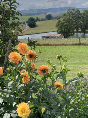 Dahlias overlooking the old dairy shed.