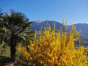Foto von Palme, Ginster in Dorf Tirol mit Blick Richtung Ifinger