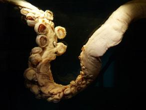 Une tentacule de calamar géant, beurk, les ventouses ont des dents !
