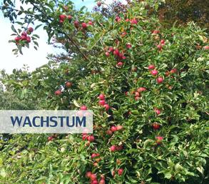 Unternehmenswachstum - Apfelbaum mit roten Früchten im Garten des Unternehmensberaters Reinhard Vossmann