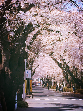 桜の季節の盆栽町