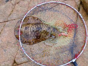 たも網の中のアオリイカの写真