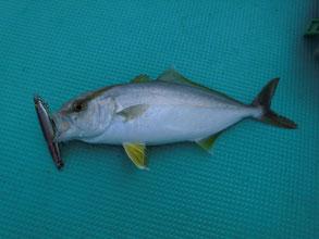ダイビングペンシルで釣れたカンパチ
