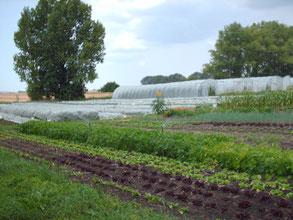 vorne: Salatvielfalt, dahinter: Kohlflächen unter Kulturschutznetz und unsere Gewächshäuser