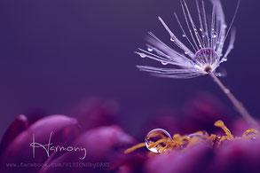 Stillleben, einzelner Pusteblumensamen mit perlenden Wassertropfen auf einer Pink-Violetten Blüte, dunkler einfarbiger Hintergrund