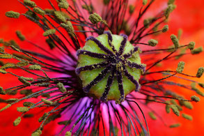 Leuchtend rote Mohnblume im Detail, Makroaufnahmen, Innenansicht mit Stempel, Fruchtknoten und Blütenpollen, mittige Platzierung formatfüllend