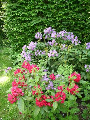 rhododendrons en fleur rose et violet entremêlés