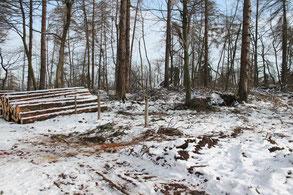 Baumfällarbeiten an dem Kriegsdenkmal Höhe Steigerwiese