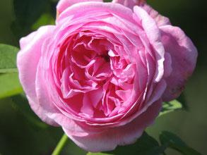 eine rose ist eine rose ist eine rose garten hakenbecks. Black Bedroom Furniture Sets. Home Design Ideas