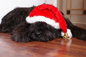 Un chien type caniche noir couché sur le ventre avec un bonnet de noël sur la tête par coach canin 16 educateur canin à Angoulême