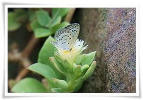 白いハナツル草・シジミ蝶
