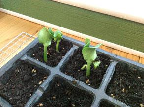 カボチャの種から芽が出たよ。